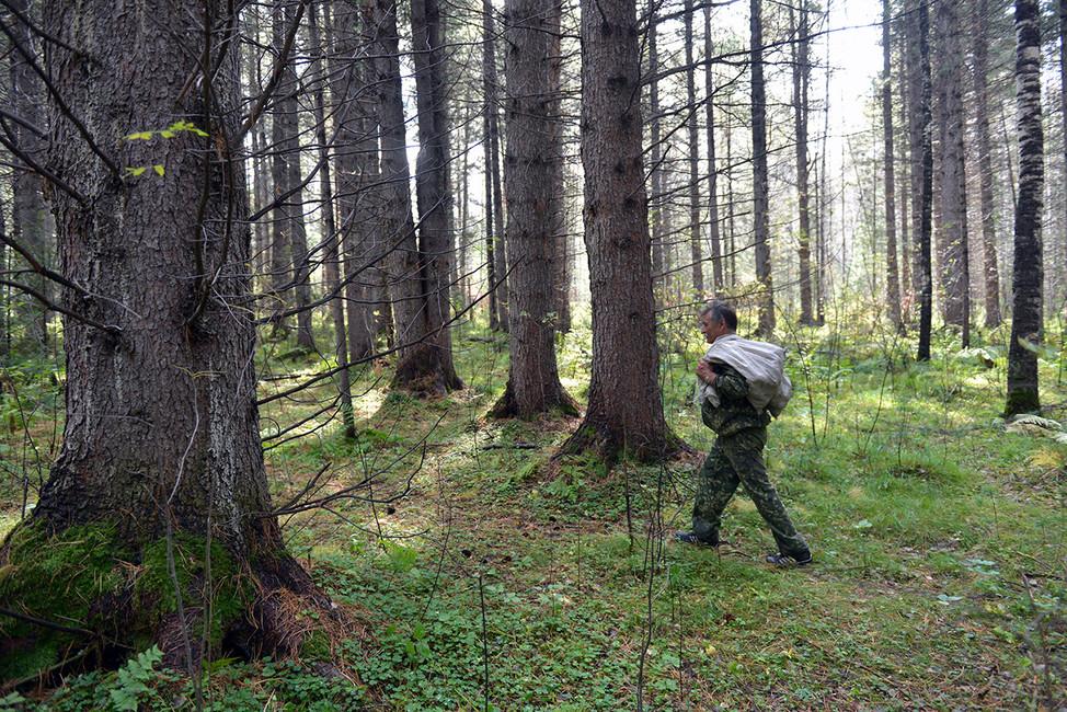 Экологи пытаются защитить сибирские кедры отэкспортеров