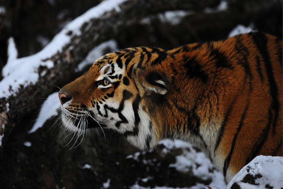 Амурский тигр. Фото: Юрий Смитюк/ ТАСС