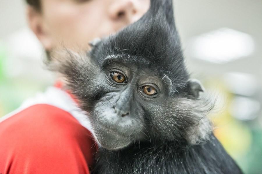 Черный хохлатый мангобей. Фото: Вконтакте