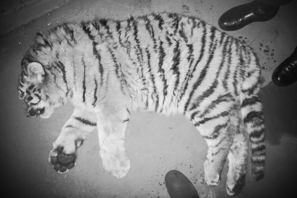 Тело пятимесячного тигренка, погибшего, попредворительной версии, под колесами поезда. Фото: amur-tiger.ru