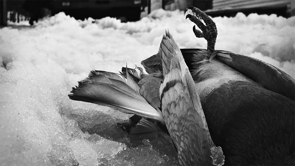 Краснодар. Экологи ищут причину массовой гибели птиц
