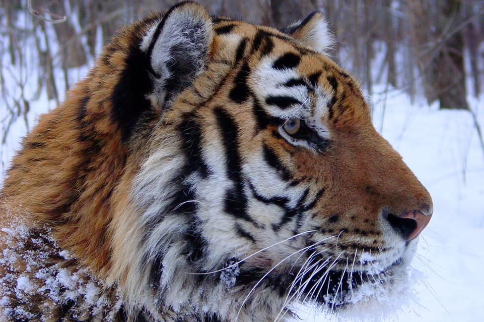 Амурский тигр. Фото: John Goodrich/ WCS
