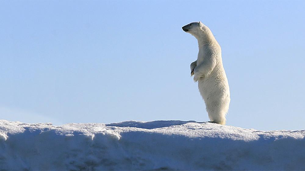 Путин иМедведев пока неприехали кбелым медведям-людоедам— помешала метель