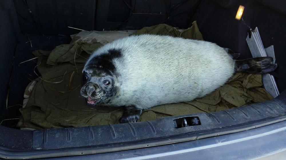 Водолазы Росгвардии «задержали» двух тюленей около атомной станции