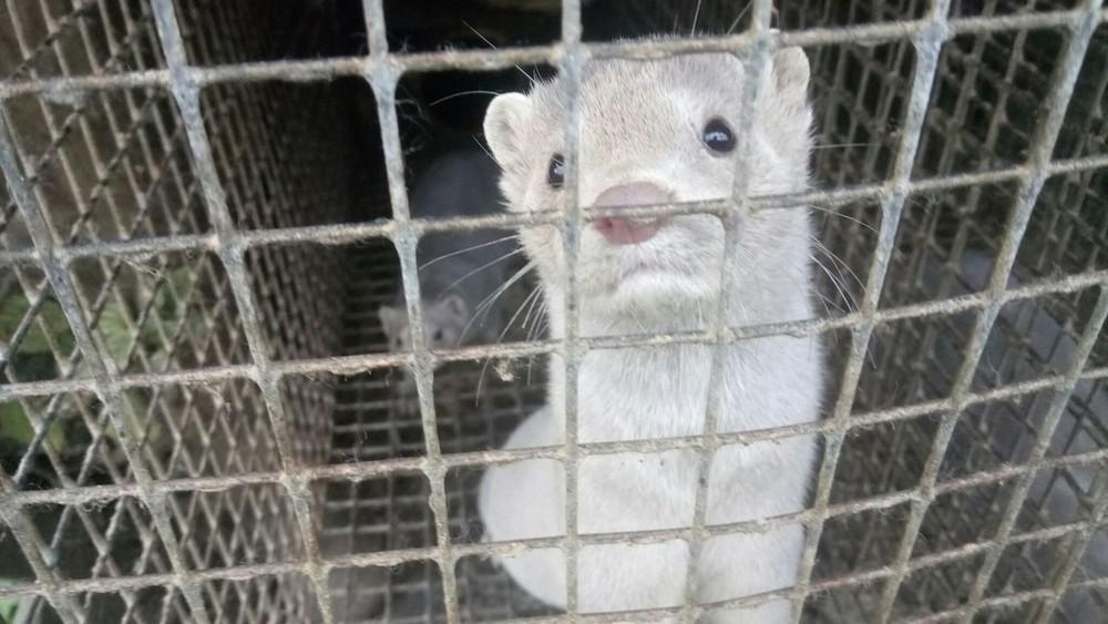 «Надо язычок держать зазубками»: наферме, где животные отголода едят друг друга, просят сотрудников молчать