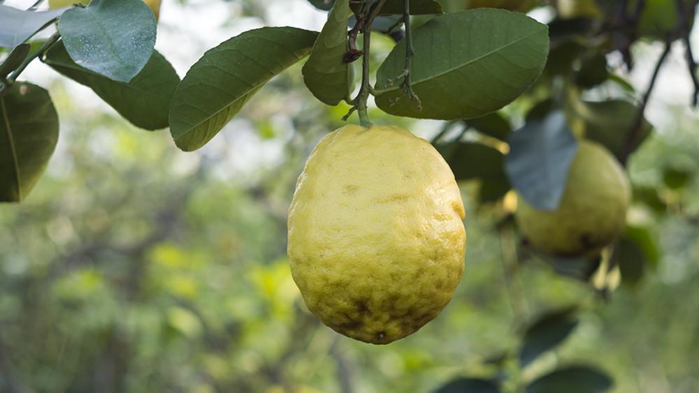 «Бунт лимонов»: уфимскому лимонарию грозит застройка